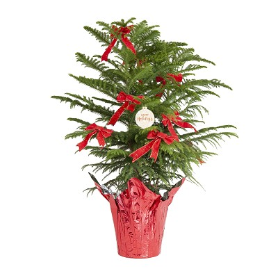 United Nursery Live Indoor Christmas Pine, Ships Decorated with Red Foil Wrap and Bows